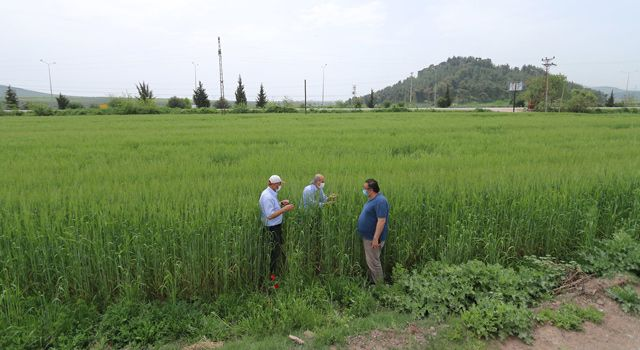 Yerli buğday çeşitlerinin ekimi yapıldı